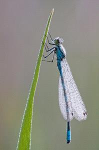 Bugis Photo Cup Circuit Merit Award - Jussi Helimaki (Finland) <br /> Northern Damselfly
