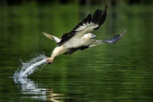 IUP Honor Mention - Foo Say Boon (Malaysia)  Sea Eagle In Action