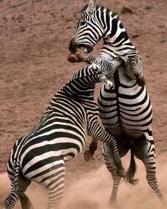 PSA Gold Medal - Sinkai Cheung (Australia)  Zebra Fights
