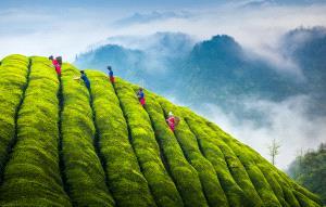 ICPE Honor Mention e-certificate - Hongwei Wang (China)  Pick Tea