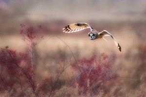 BPC Merit Award - Philip Chan (Canada)  Fall Colour With Short-Eared Owl