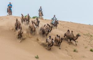APU Honor Mention e-certificate - Mingyou Zhang (China)  Camel Catch