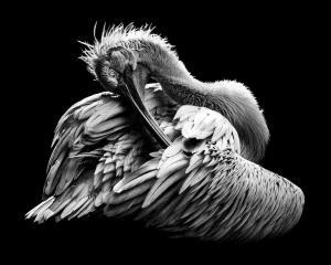 BPC Merit Award - Khaing Sandar Tin (Singapore)  The Beauty Of Feather